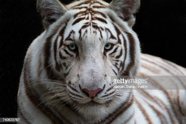 close-up portrait of white tiger - white tiger stock photos and pictures