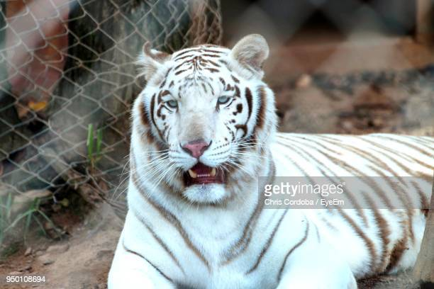 close-up portrait of white tiger resting at zoo - big cat stock pictures, royalty-free photos & images