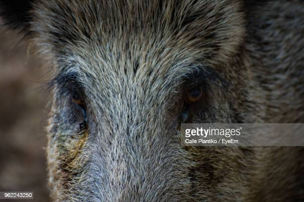close-up portrait of wild boar - wild boar stock pictures, royalty-free photos & images