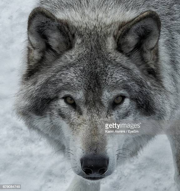 Close-Up Portrait Of Wolf During Winter