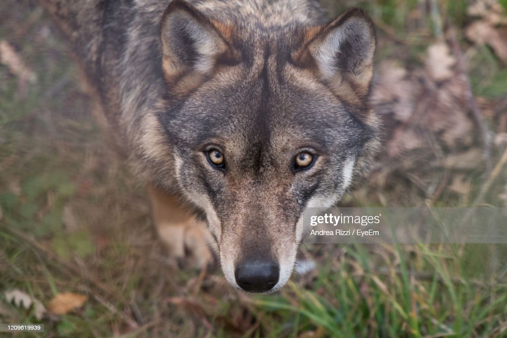 Close-Up Portrait Of Wolf On Land : Foto stock