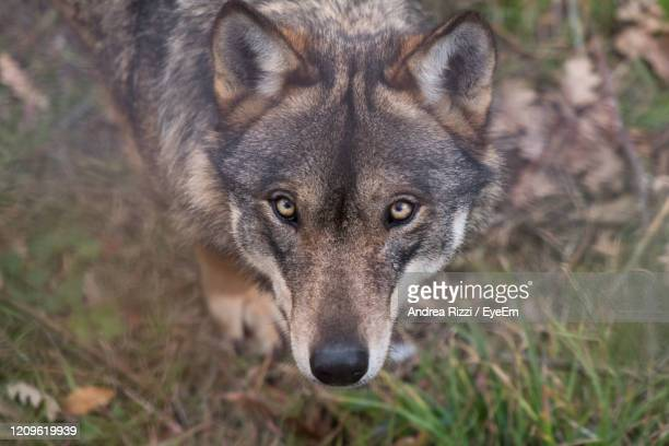 close-up portrait of wolf on land - andrea rizzi stockfoto's en -beelden