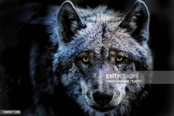 close-up portrait of wolf standing against black background - lobo fotografías e imágenes de stock