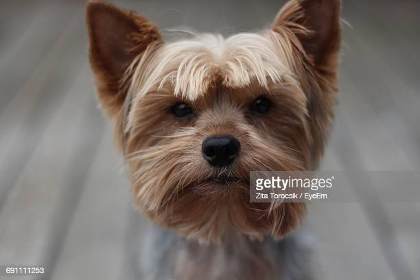 Close-Up Portrait Of Yorkshire Terrier