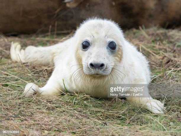 close-up portrait of young seal relaxing on field - seal pup stock photos and pictures