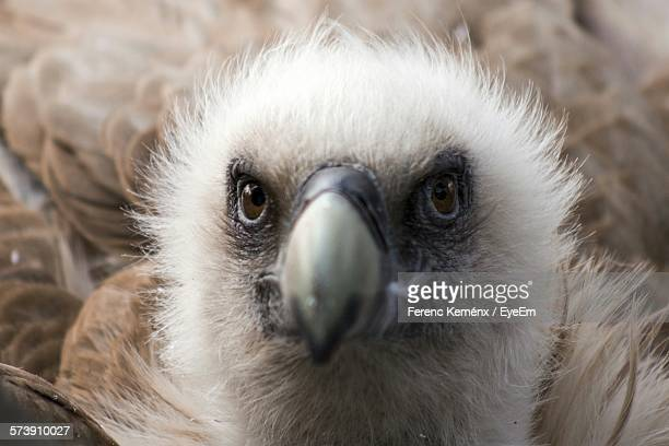 Close-Up Portrait Of Young Vulture Outdoors