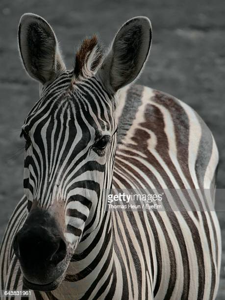 close-up portrait of zebra - animal ear stock photos and pictures