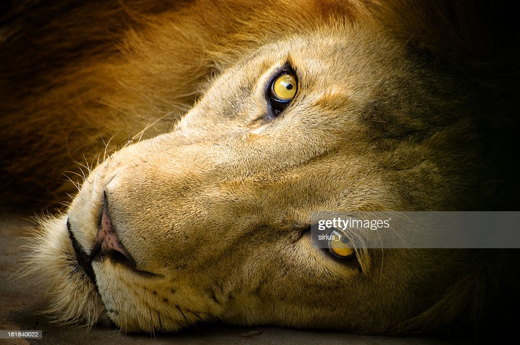 Close-up portrait photography of a lion : Stock Photo