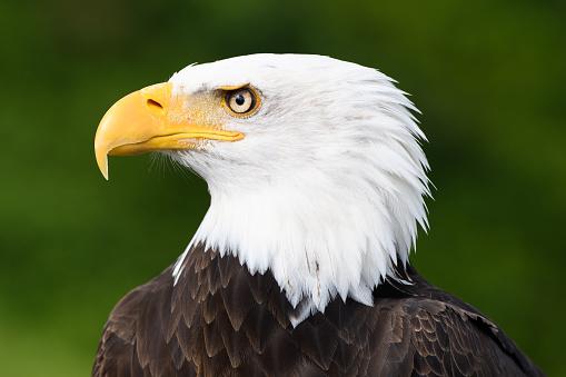 Close-up profile of Bald Eagle 1069023576