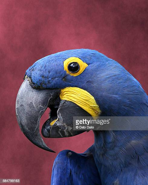 Close-up Profile Side View of a Hyacinth Macaw