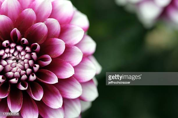 Closeup purple dahlia bloom on dark green blurry background