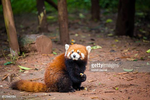 close-up red panda standing on the ground with background blurry ( chengdu , sichuan , china ) - red panda stock pictures, royalty-free photos & images