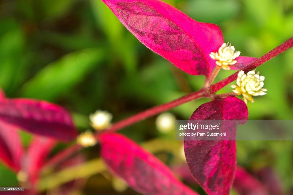 Closeup redleafed tropical plant with small white flowers vietnam close up red leafed tropical plant with small white flowers vietnam mightylinksfo