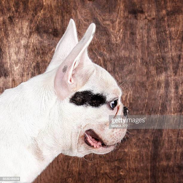 Close-up right side view head French bulldog puppy