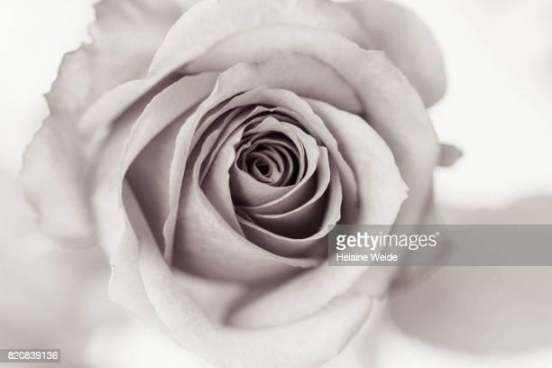 close-up Rose flower