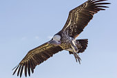 Close-up Ruppells griffon vulture in flight from below