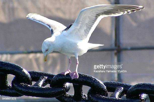 Close-Up Seagull On Metal Chain