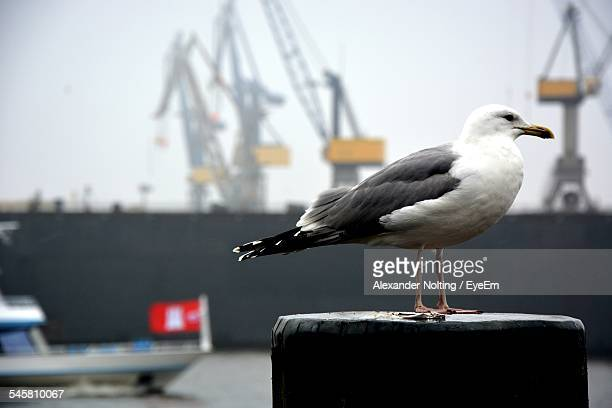 Close-Up Seagull On Wooden Post Against Commercial Dock
