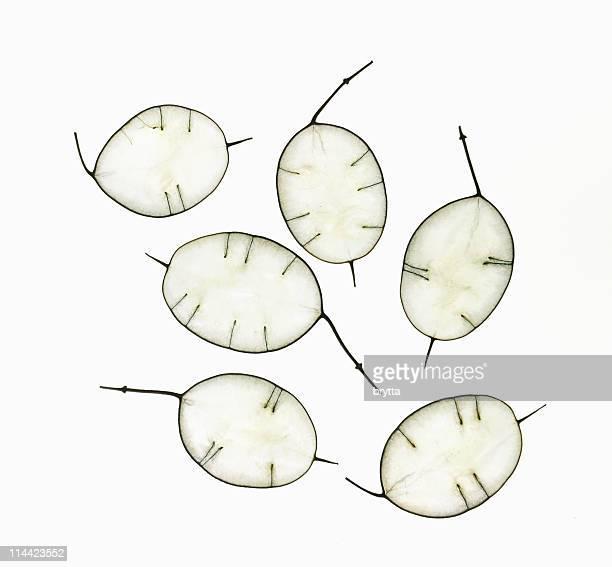 Close-up seed heads  of Lunaria Annua