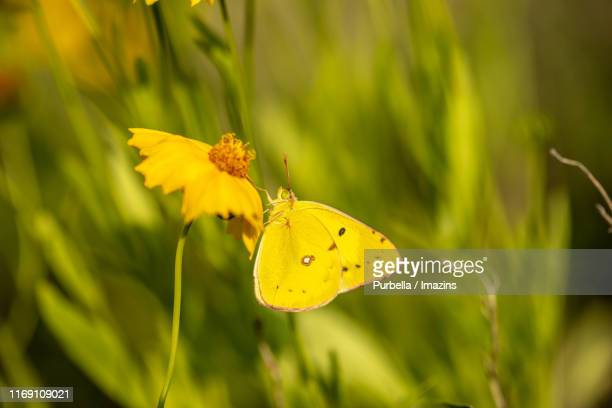 close-up shot of a butterfly and golden-wave flower - purbella stock photos and pictures