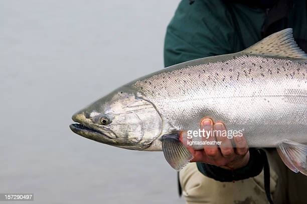 Close-up shot of a captured Alaska King Salmon
