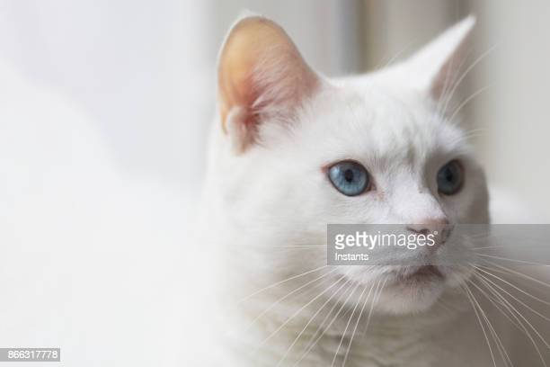 Close-up shot of a female Turkish Angora cat relaxing by a window.