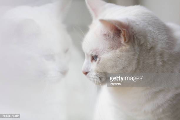 Turkish Angora Cat Stock Photos And Pictures Getty Images