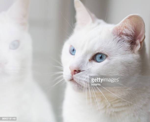 close-up shot of a female turkish angora cat relaxing by a window. - purebred cat stock pictures, royalty-free photos & images