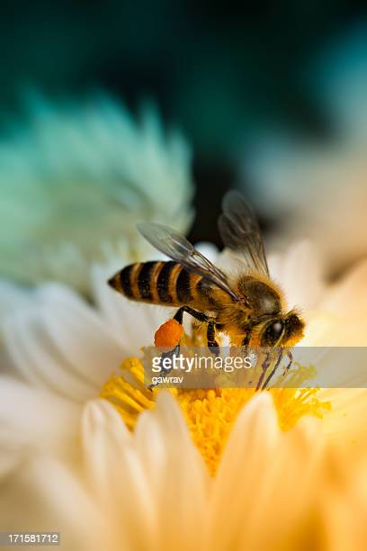 Close-up shot of a honey bee collecting nectar
