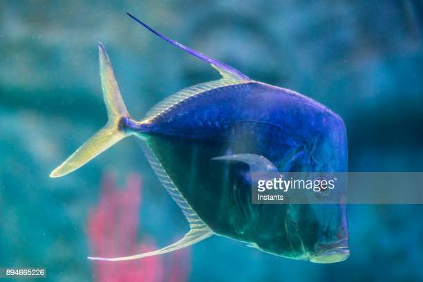 Close-up shot of a Lookdown Jack fish swimming by itself.