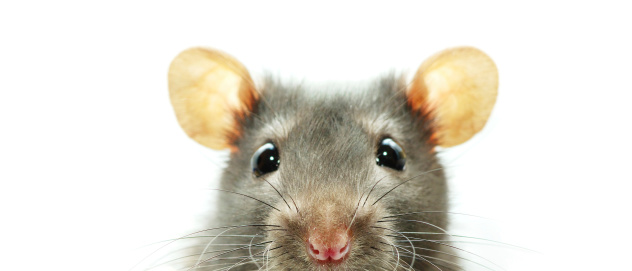 A close-up shot of a mouse on a white background 135022762