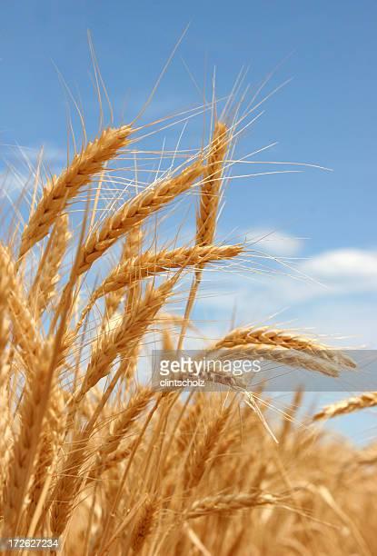 A close-up shot of a ripe summer wheat
