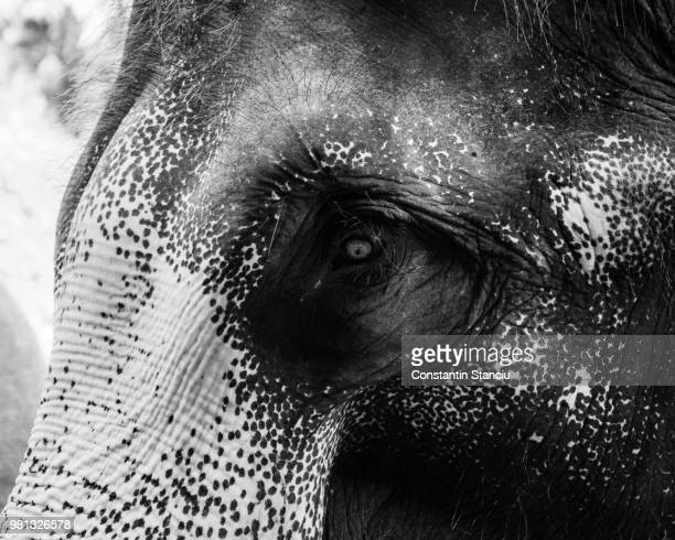 close-up shot of asian elephant head - big bums stock pictures, royalty-free photos & images