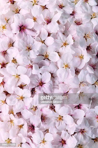 Close-up shot of cherry blossom flowers
