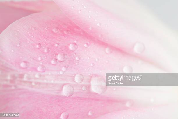Close-Up shot of delicate pink tulip petals with water drops