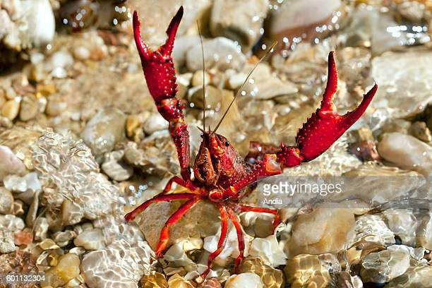 Closeup shot of farmed crawfish in the water on pebbles in a stream Crayfish with raised claws