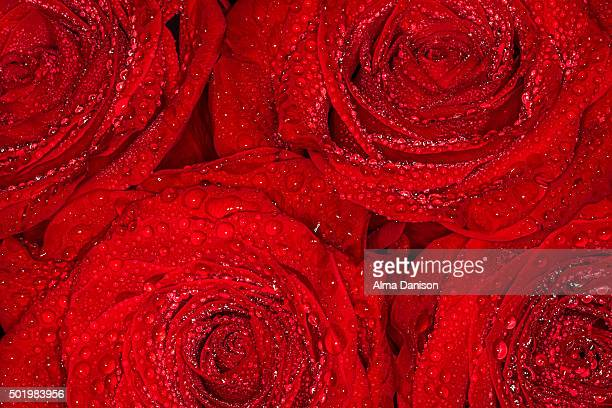 close-up shot of four red roses after rain - alma danison stock photos and pictures