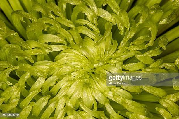 close-up shot of green dahlia flower - alma danison fotografías e imágenes de stock