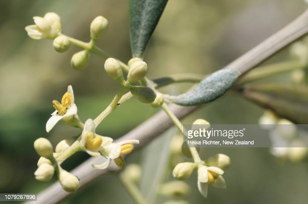 Closeup shot of olive tree flowers