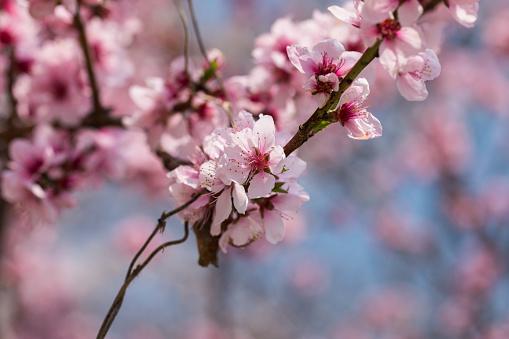 Close-up Shot of Peach Blossom - gettyimageskorea