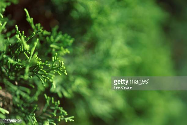 close-up shot of pine tree leaves - 持続可能な開発目標 ストックフォトと画像