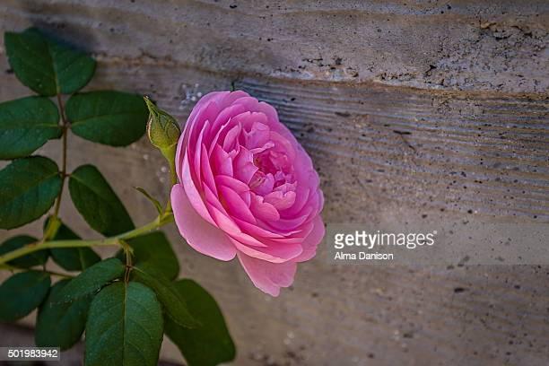 close-up shot of pink rose against concrete wall - alma danison fotografías e imágenes de stock