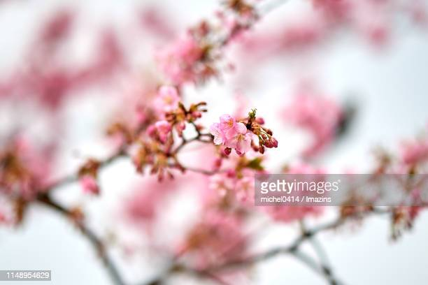 close-up shot of red cherry blossom - differential focus stock pictures, royalty-free photos & images