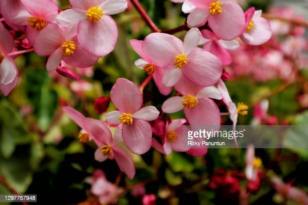 close-up shot of red flower - begonia stock pictures, royalty-free photos & images