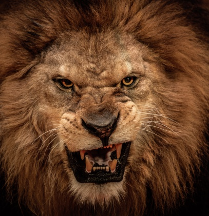 Close-up shot of roaring lion 164660724