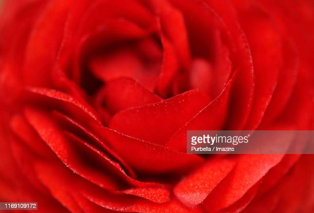 close-up shot of rose - purbella stock photos and pictures