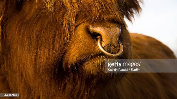 close-up shot of yak - working animal stock pictures, royalty-free photos & images