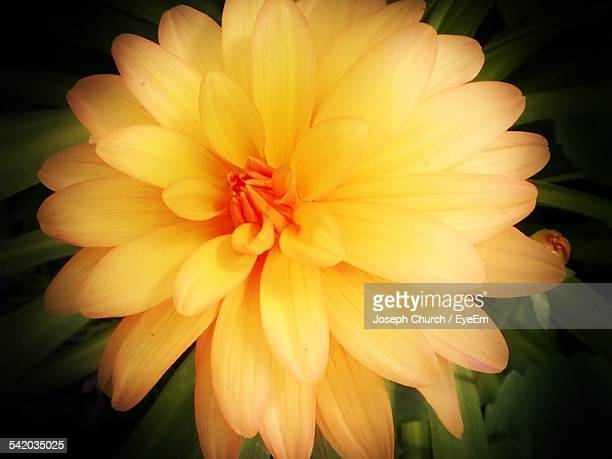 close-up shot of yellow flower - sepia stock pictures, royalty-free photos & images