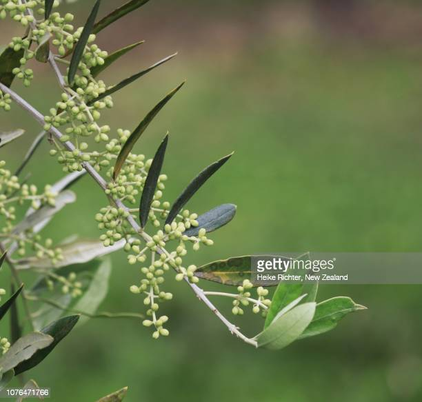 Closeup shot of young olive tree flowers