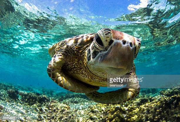 Close-up shot underwater of a turtle swimming in the reef, Queensland, Australia